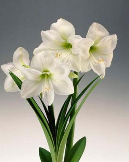 Pr sentation de notre gamme d 39 amaryllis en fleurs coup es for Amaryllis fleurs cesson
