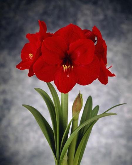 Pr sentation de notre gamme d 39 amaryllis en fleurs coup es for Amaryllis rouge signification
