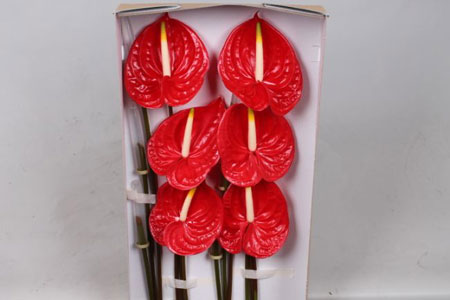 Anthurium Rouge