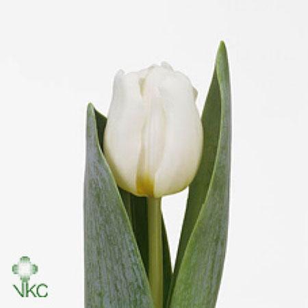 Novea Fleurs Vous Presente Son Assortiment De Tulipes
